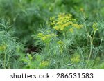 Dill Plant And Flower As...