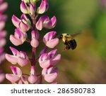 Lupin Bee
