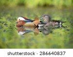 Mandarin Duck  Mandarin   Pair
