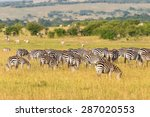 Zebras Grazing Grass On The...