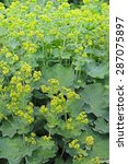 Small photo of Mandgetka (Alchemilla) - genus of perennial herbaceous plants Pink family (Rosaceae)