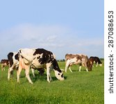 cows on a summer pasture | Shutterstock . vector #287088653