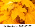 wet maple leaves  close up view | Shutterstock . vector #287108987