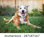 A Senior Dog Laying In The...