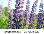 Purple Summer Flowers  Veronic...