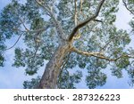 Canopy Of Big Australian...