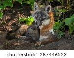 Grey Fox Vixen   Kit  Urocyon...