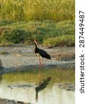adult black stork in late... | Shutterstock . vector #287449487