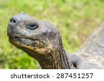 Detail Of A Giant Tortoise In...