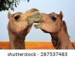 Gossiping Camels. Funny Animal...