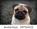 Stock photo portrait of beautiful male pug puppy sad dog sitting in front of the dark background 287554223