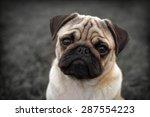 Portrait Of Beautiful Male Pug...