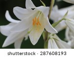 madonna lily   Shutterstock . vector #287608193