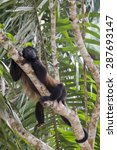 Small photo of Howler Monkey (Alouatta palliate) rests in tree high in the rainforest jungle.