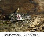 Timber Rattlesnake  Crotalis...