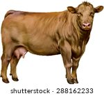 Brown Cow Isolated On White...