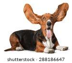 Basset Hound  Dog  Humor.