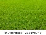 Thailand Rice Background Which...