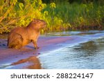 wild capybara   Shutterstock . vector #288224147