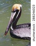 brown pelican mexico bird sea