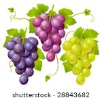 three cluster of grapes | Shutterstock .eps vector #28843682