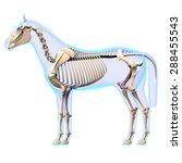 horse skeleton side view... | Shutterstock . vector #288455543