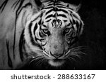 Tiger  Portrait Of A Tiger In...