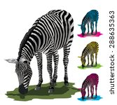 Grazing Zebra Isolated On Whit...