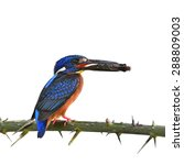 Small photo of Beautiful bird, male Blue-eared Kingfisher isolated on white background (Alcedo meninting)
