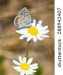 Small photo of California Hairstreak (Satyrium californica) nectaring on Daisy flower. Santa Clara County, California, USA.