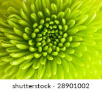 green chrysanthemum closeup - stock photo
