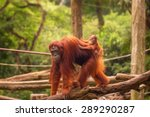 orangutan in the singapore zoo... | Shutterstock . vector #289290287