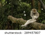Small photo of Monkey in Alas Kedaton Temple established in tropical forest ,Bali ,Indonesia