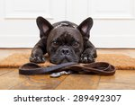 French Bulldog Dog Waiting And...