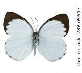 Small photo of White and brown butterfly, Delias butterfly (Delias belisama), isolated on white background
