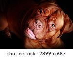 portrait of dog de bordeaux... | Shutterstock . vector #289955687