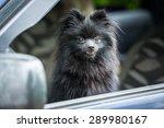 Black Pomeranian Spitz Sitting...