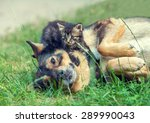 Stock photo big dog and little kitten best friends playing together outdoors lying on the grass kitten lying 289990043