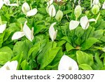 Peace Lily   Spathiphyllum...