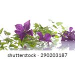 beautiful blooming clematis on... | Shutterstock . vector #290203187