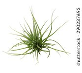 Small photo of air plant with scientific name Tillandsia, on a isolated white background. This has clipping path.