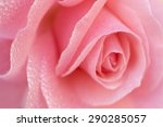 Stock photo beautiful rose flower 290285057