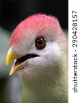 Small photo of Close up portrait of a Black Cheeked Lovebird. Agapornis Nigrigensis.