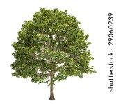 hornbeam tree isolated