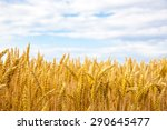Golden Field Of Wheat And Blue...