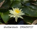 white water lilies float on top ... | Shutterstock . vector #290650727