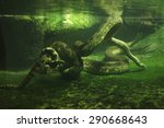 Green Anaconda  Eunectes...