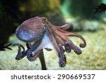 Common Octopus  Octopus...