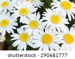 Leucanthemum Daises Planted In...
