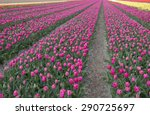 Tulip Field In Northern Holland